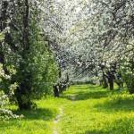 яблоневый вид