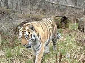 таёжный тигр